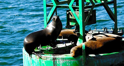 Sea Lions Resing on a Channel Market in San Diego Bay